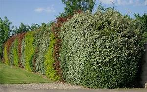Arbuste Persistant Haie : les arbustes de haies le jardin du chat ~ Premium-room.com Idées de Décoration