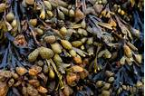 Фукус водоросль при псориазе