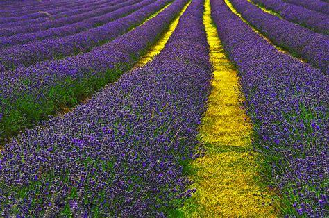 lavender picture  wallpaper weneedfun