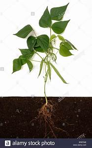 French Or Green Bean  Phaseolus Vulgaris  Plant Structure