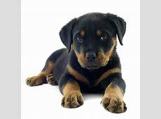 Fotos Rottweiler Raça Cachorro