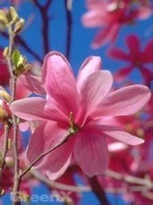 Magnolie Blüht Nicht : 24 april 2016 fragen bilder pflanz und pflegeanleitungen rund um das thema gartenpflanzen ~ Buech-reservation.com Haus und Dekorationen