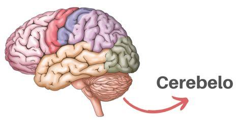 cerebelo funciones anatomia enfermedades  caracteristicas
