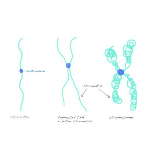 Diagram Of Chromatin by Chromatin Chromosomes And Chromatids Mitosis Meiosis