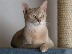 abyssinian cat encyclopedia of cats breed lilac abyssinian cat