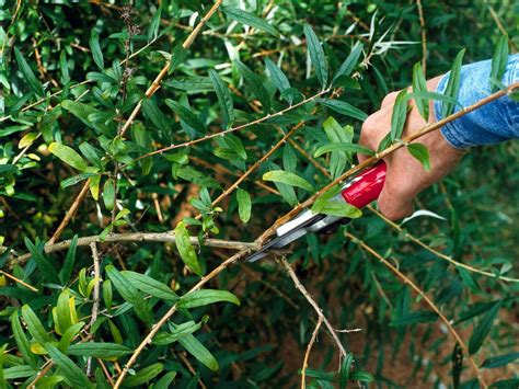 pruning bushes how to prune shrubs hgtv