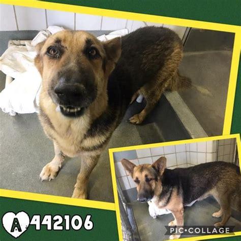 german shepherd dog dog  adoption  san antonio tx
