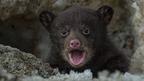 As Tiny Black Bear Cub Emerges From Den, Lucky
