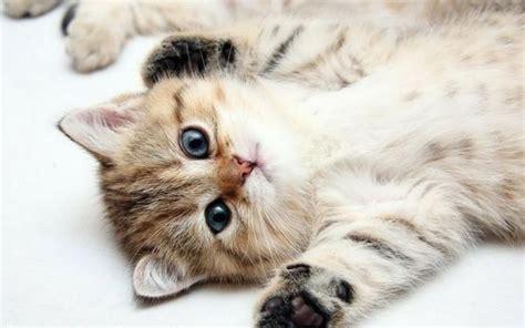 12 Kitten Chrome Themes, Desktop Wallpapers & More For