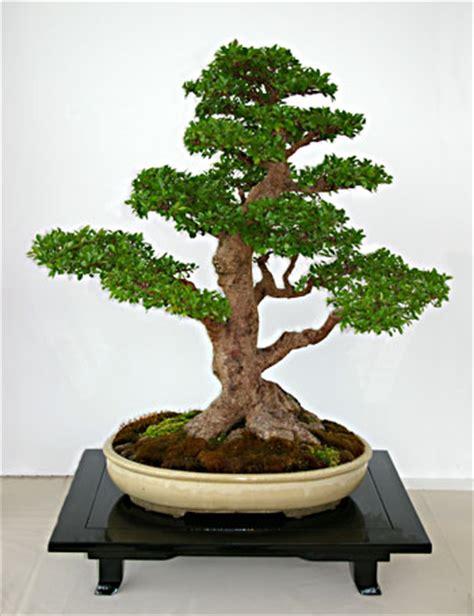 chinesische ulme bonsai ulmus parvifolia chinesische ulme als bonsai gestalten und pflegen