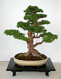 Bonsai Chinesische Ulme : ulmus parvifolia chinesische ulme als bonsai gestalten und pflegen ~ Sanjose-hotels-ca.com Haus und Dekorationen