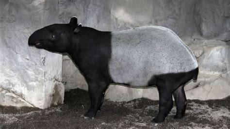 minnesota zoo malayan tapir minnesota zoo