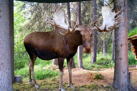 boreal cuisine animals that live in the canadian forest imgkid com