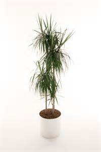 indoor plant displays kentia areca palms dracaena marginata and deremensis draceana