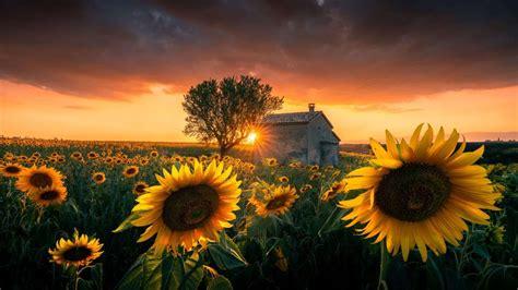 Windows 10 Theme: Download 'Sunflowers PREMIUM' theme pack ...