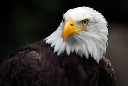 Eagle 4k Wallpapers American Background Desktop Wallpaperaccess