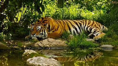 Descansando Tigre Parede Papel Wallpapers Tigres Osmais