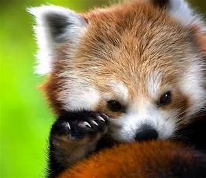 Baby red panda | Animals | Pinterest