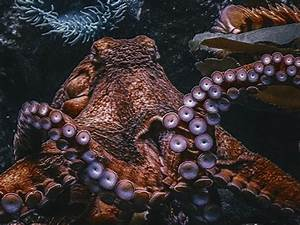100, Octopus, Pictures, Hd
