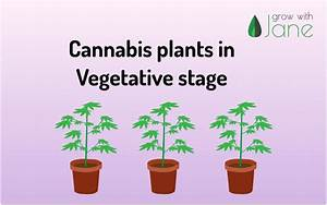 Vegetative Stage In Cannabis Plants  A Guide For Beginners