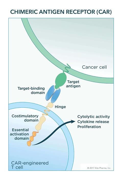 fda approves  car  cell therapy national cancer