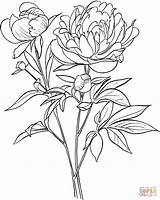 Coloring Peony Pages Paeonia Officinalis European Common Drawing Printable Paper sketch template