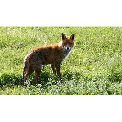 Red Fox (Vulpes vulpes) – Focusing on Wildlife