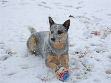 Blue Heeler Shedding In Winter by Blue Heeler White Winter By Brandi