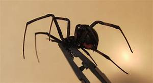 Black Widow Spider; Latrodectus mactans
