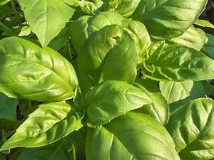 Plante Repulsif Mouche : 19 plantes anti insectes qui prot gent naturellement votre maison jardin ~ Melissatoandfro.com Idées de Décoration