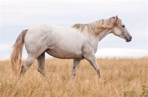 silver time free photo horses grey animal gray free image