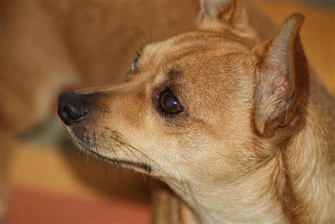 File Ee  Chihuahua Ee    Ee  Dog Ee   Jpg Wikimedia Commons