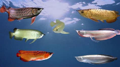 ปลาสวยงาม: ปลาที่คนนิยมเลี้ยงมากที่สุด