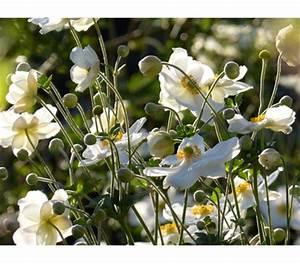 Weiß Blühende Stauden : herbst anemone weiss 9cm dehner garten center ~ Markanthonyermac.com Haus und Dekorationen
