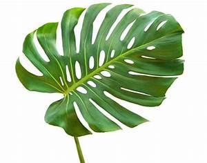 Pflanze Mit Großen Blättern : welche zimmerpflanzen sind giftig baby und familie ~ Michelbontemps.com Haus und Dekorationen