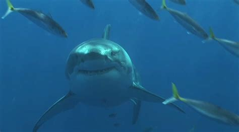 Enhanced Protection Effect For Great White Shark