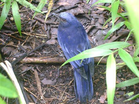 Gambar burung lovebird muka merah. Habitat Satwa Liar: Gunung Ciremai sebagai Habitat Burung Langka
