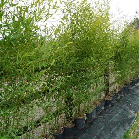 golden bamboo 200 250cm 8ft pot 25lt phyllostachys aurea