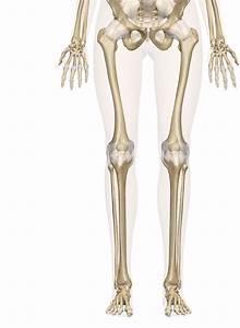Bones Of The Leg And Foot