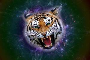 Angry Tiger Pictures