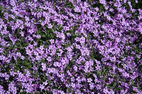 creeping phlox seven oaks home and garden joy growing creeping phlox