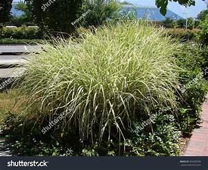 Miscanthus Sinensis Variegatus : miscanthus sinensis variegatus landscape stock photo 464299706 shutterstock ~ Eleganceandgraceweddings.com Haus und Dekorationen