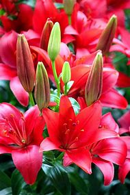 Red Flowers Pictures Lilies