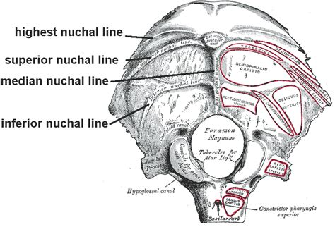 nuchal lines wikiwand