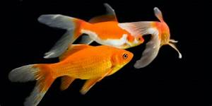 The Difference Between Koi And Goldfish