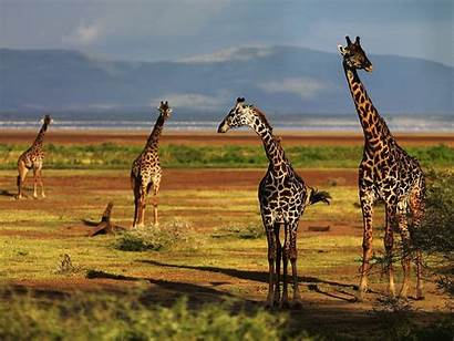 Giraffe Desktop Giraffes Wallpapers Background Backgrounds Theme