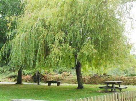 How To Grow Weeping Willow Trees Gardening Channel