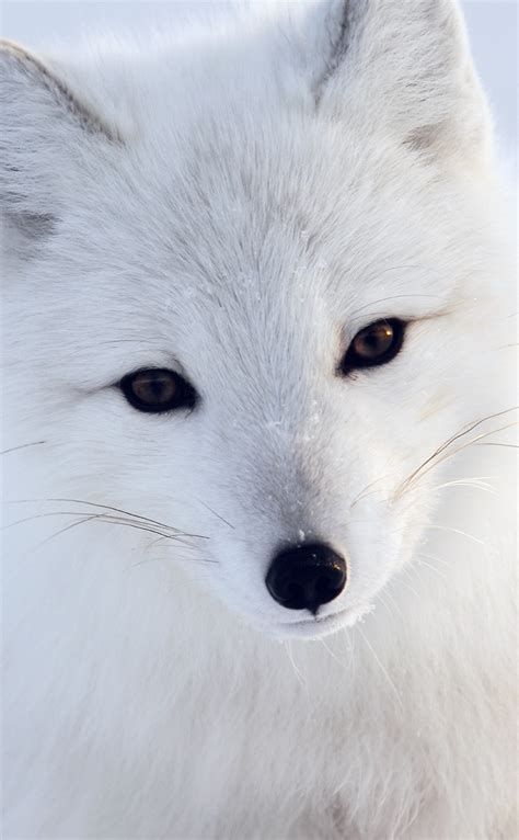 artic fox white animal cute papersco