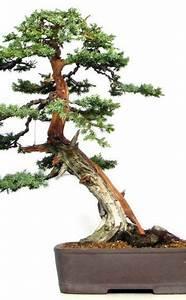 Chinesischer Wacholder Bonsai : die besten 25 wacholderholz ideen auf pinterest natur inspirierte hochzeit holz gravieren ~ Sanjose-hotels-ca.com Haus und Dekorationen
