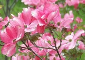 Rosa Blühender Baum Im Frühling : zierstr ucher ziergeh lze lexikon str ucher im garten ~ Lizthompson.info Haus und Dekorationen